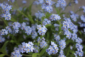 Forget me notpic