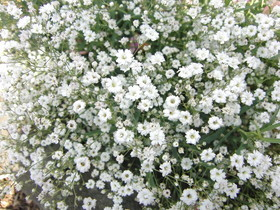 gypsophilapic